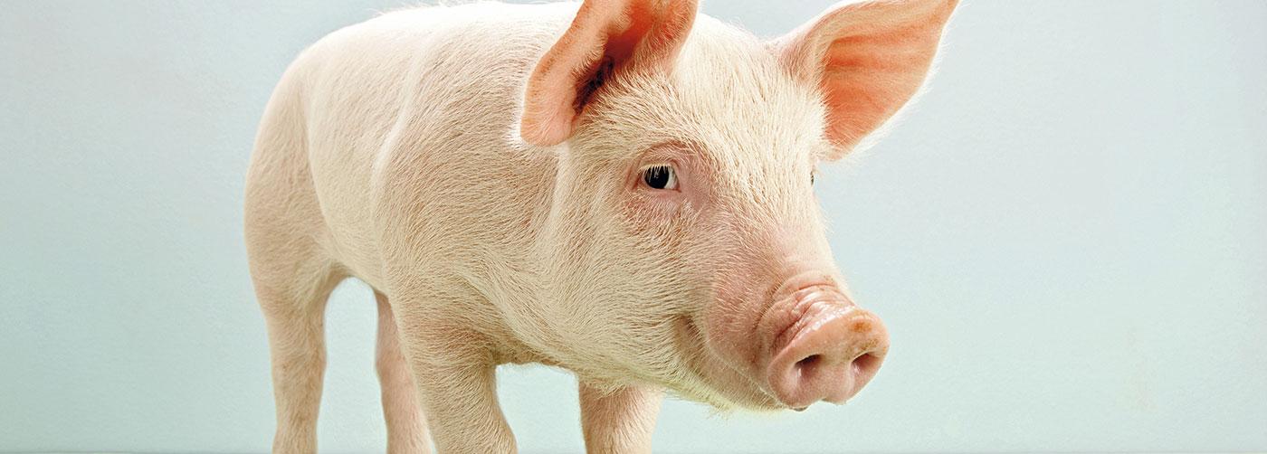 Benestar animal: granxas con certificado